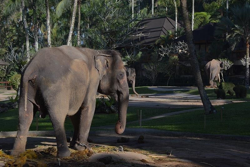 INDONESIA. There are 31 Sumatran elephants being housed at the park. Four of it were born here. (Joros Razon)
