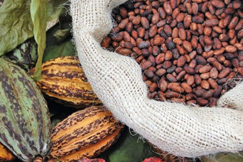 DAVAO. The Davao City Agriculturist's Office (CAO) reported that cacao still has the largest yield with around 3,400 metric tons in 2017 and more than 4,170 metric tons in 2018. (File Photo)