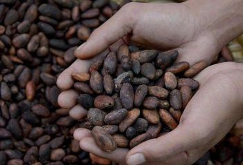 DAVAO. The City Government of Davao has allotted P2-million budget for cacao industry projects in the city this year. (File Photo)