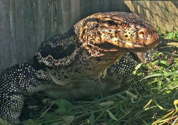USA. This November 7, 2018 image provided by the Florida Fish and Wildlife Conservation Commission shows an escaped pet Asian water monitor lizard after it was captured in Davie, Florida. Federal prosecutors said that Derrick Semedo, of Nashua, N.H., pleaded guilty on Tuesday, April 23, 2019, in Boston to smuggling 20 live water monitor lizards from the Philippines to the US, by placing them in socks, sealing the socks with tape, then concealing them in the back panels of audio speakers shipped to him. He faces up to five years in prison. (AP)