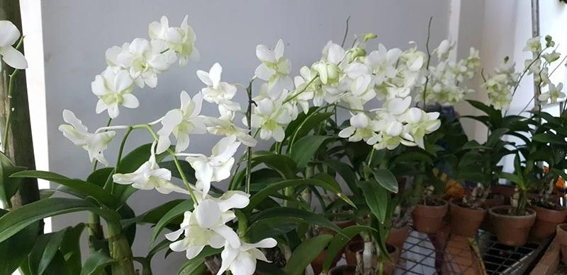 NEGROS. A variety of orchids that warm the hearts. (Carla N. Cañet)