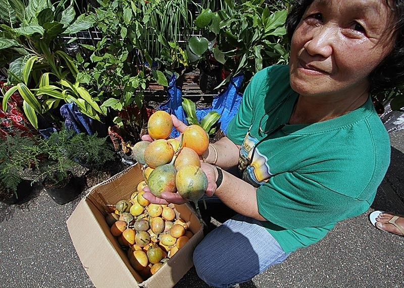 Marcela Pittongay, one of the urban farmers in Baguio City producing passion fruit which sells for P5. Baguio is where you buy your veggies but surprisingly a number of urban famers have quietly been toiling the earth in this highly urban city. Photo by JJ Landingin