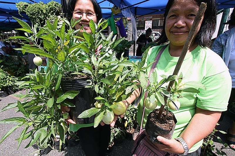 URBAN FARMING.Baguio is where you buy your veggies but surprisingly a number of urban famers have quietly been toiling the earth in this highly urban city. Amelia Montes and Mila Marcelo produces a pipino melon. (Photo by JJ Landingin)