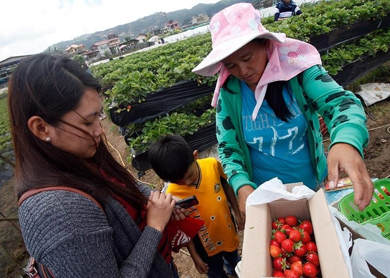 BENGUET. Tourists enjoy the strawberry picking experience at the La Trinidad strawberry farm despite the occasional afternoon rains in the highlands. A kilo of strawberry is worth P500. (Jean Nicole Cortes)