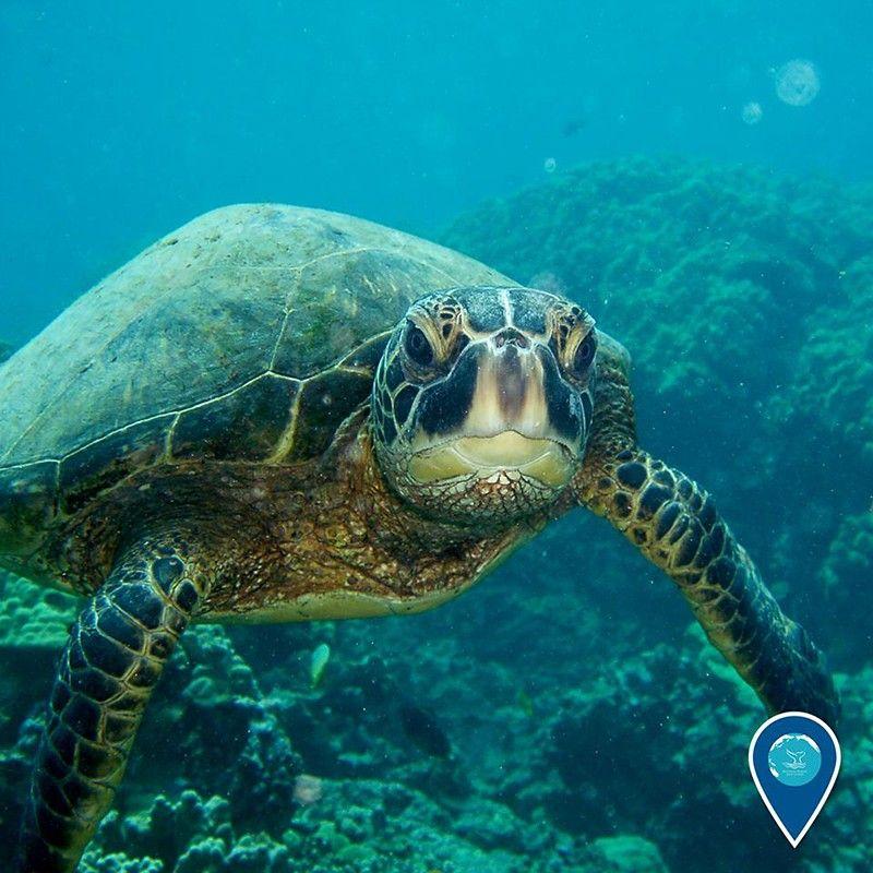 Green sea turtle (Hulagway kuha sa NOAA Office of National Marine Sanctuaries Facebook page)