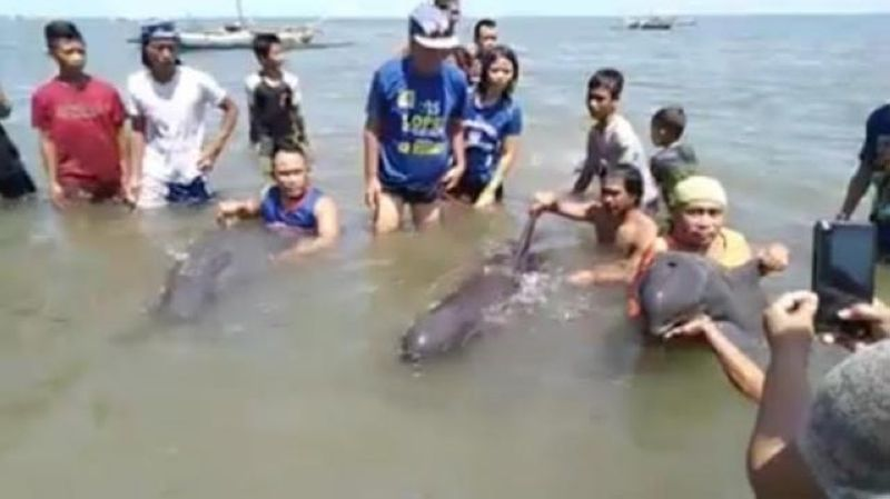 HINIGARAN. A screen grab of the video posted by Pinoy Naturalist on Facebook showing some residents taking photos of them with the three stranded melon-headed whales at Barangay Gargato in Hinigaran town, Negros Occidental. (Contributed photo)