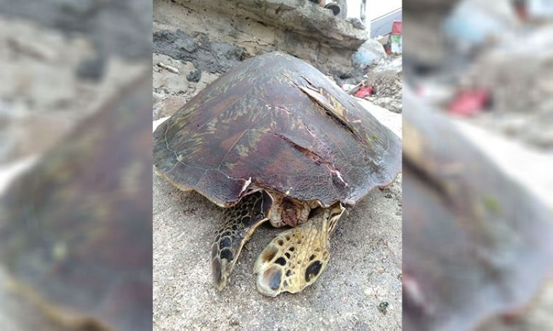CEBU. Another dead turtle was found in Moalboal, Cebu. (Photo courtesy of Karl Epp)