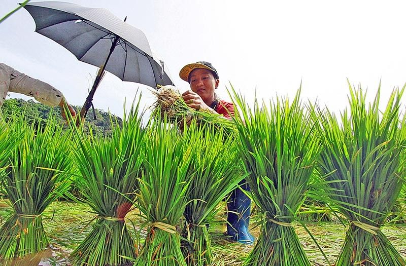 TIMING. Farmers in Nangalisan, Asin, Tuba, Benguet timed their rice planting during the on-set of the rains to irrigate their rice paddies. Rice paddies in Tuba rely on heavy down pour like the rain induce by weather systems. (Photo by JJ Landingin)