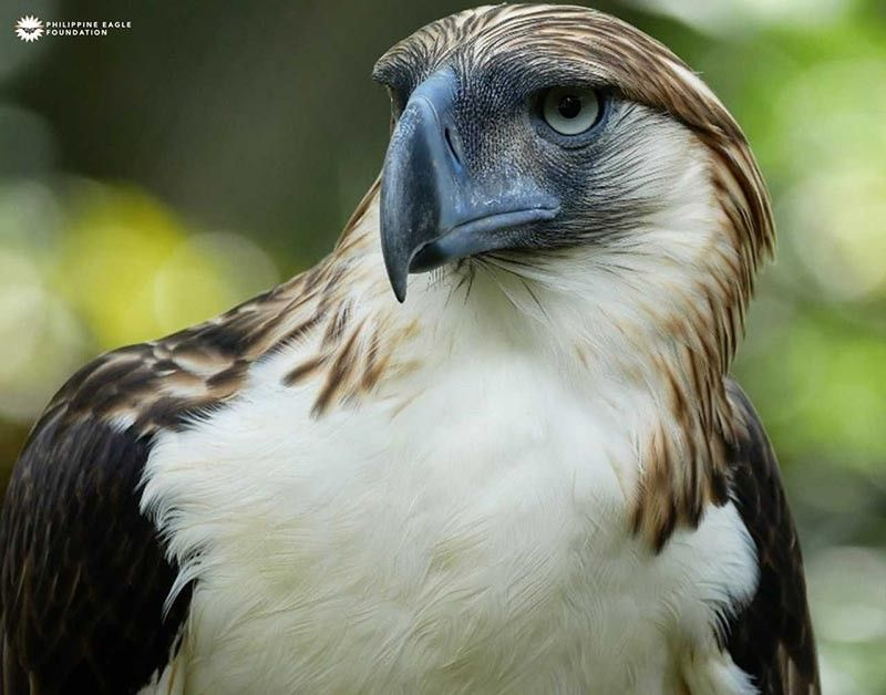 Photo from Philippine Eagle Foundation