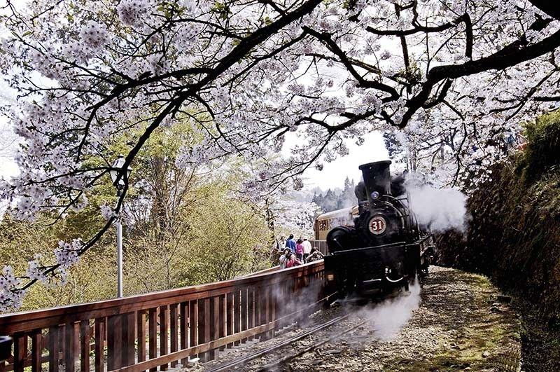 Alishan – Cherry Blossom