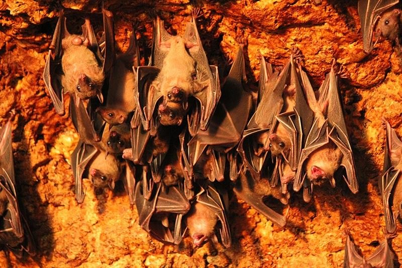 The Monfort Bat Cave Sanctuary is home to 2.5 million Geoffroy's Rousette Fruit Bats. It holds the title as the largest single colony of one species residing in one cave annex in the Guinness Book of World Records. (Ace Perez)