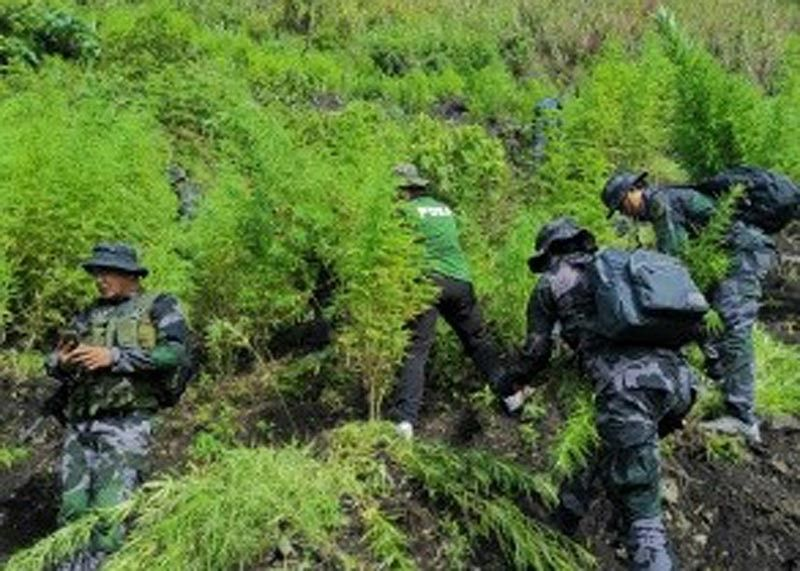 KALINGA. Police uproot marijuana plants in Tinglayan, Kalinga during a three-day operation by the combined operatives of Kalinga Police Provincial Office, Philippine Drug Enforcement Agency – Cordillera and members of the 1503RD Maneuver Company of the Regional Mobile Force Battalion 15. (Cordillera Police Regional Office Photo)
