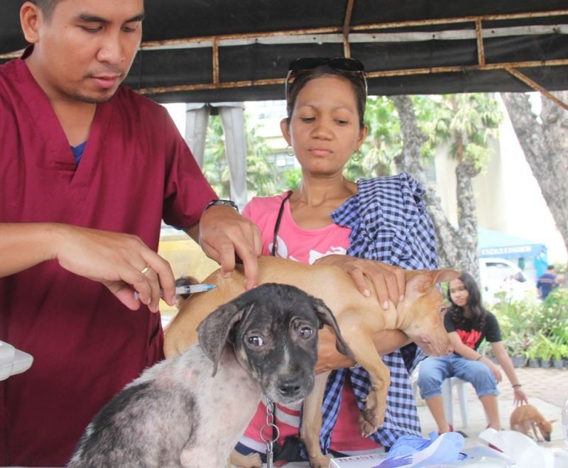 KEEPING PETS HEALTHY. It was a day of pampering for a lot of pets last Saturday, June 23, 2019, including these Asong Pinoy (Aspins) who got free vaccines as part of the Cebu City Government's celebration of Aspin Day.  (SUNSTAR FOTO / AMPER CAMPAÑA)