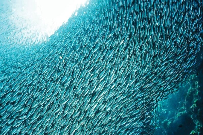 PERFECT SHOT FOR MOVIES. The southern part of Cebu is a home to many ideal film locations. One of them is the sardine run of Moalboal which is now a trending attraction among divers. (SunStar file)