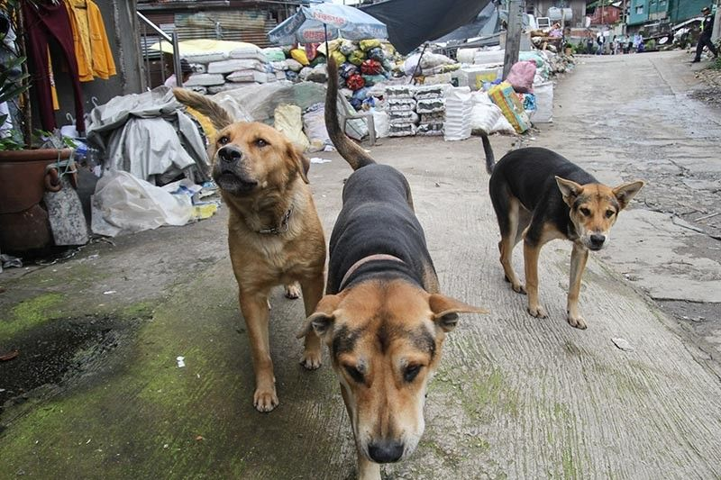 BENGUET. Stray dogs freely roam around the streets of Irisan. Mayor Benjamin Magalong demands an intensive action to address the issues on stray dogs and a possible increase of penalty during a meeting with department heads held at the Irisan controlled dump facility on July 2. (Photo by Jean Nicole Cortes)
