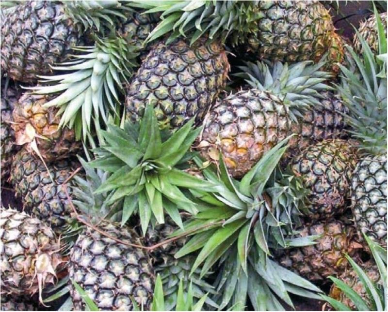 The Philippine Statistics Authority (PSA)-Davao reported that Aside from bananas, fresh and dried pineapples contributed to the increase of exported commodities this year with a value amounting to US$ 49.5 million. (SunStar File Photo)