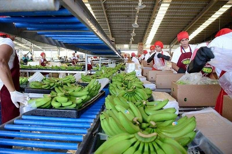DAVAO. There was a decrease of about 20 to 25 metric tons of bananas for export in Davao Region due to dry spell season. (SunStar File Photo)