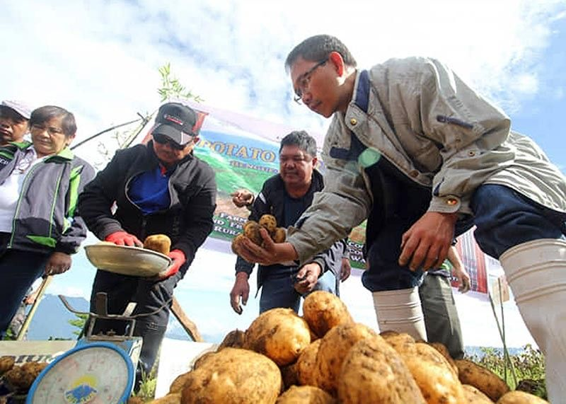 BENGUET. Buguias Mayor Ruben Tindaan, together with Agriculture Secretary Emmanuel Piñol, harvest potatoes at the Bayoyo farms owned by John Sagpa-ey. (Photo by Jean Nicole Cortes)