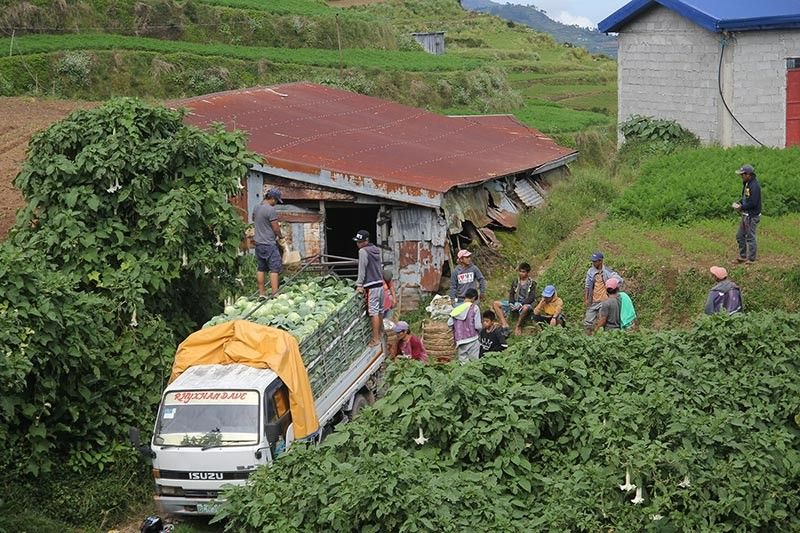 BENGUET. After three to four months of hard work, farmers in Buguias prepare their truck loaded with cabbages to be delivered at the La Trinidad Trading Post. Farmers said the buying price of vegetables in the market changes from time to time within a day. (Photo by Jean Nicole Cortes)