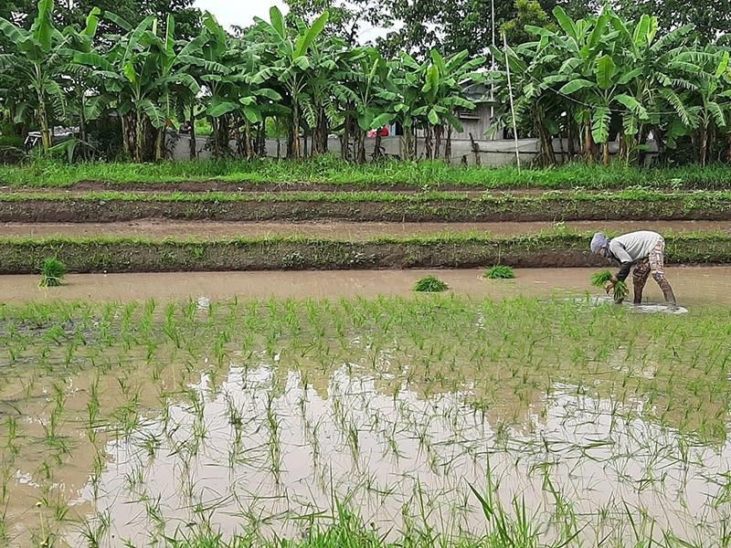 A girl helps her family plant rice in a paddy field in Aranguren, Capas town in Tarlac province adjacent to the New Clark City. (Reynaldo G. Navales)