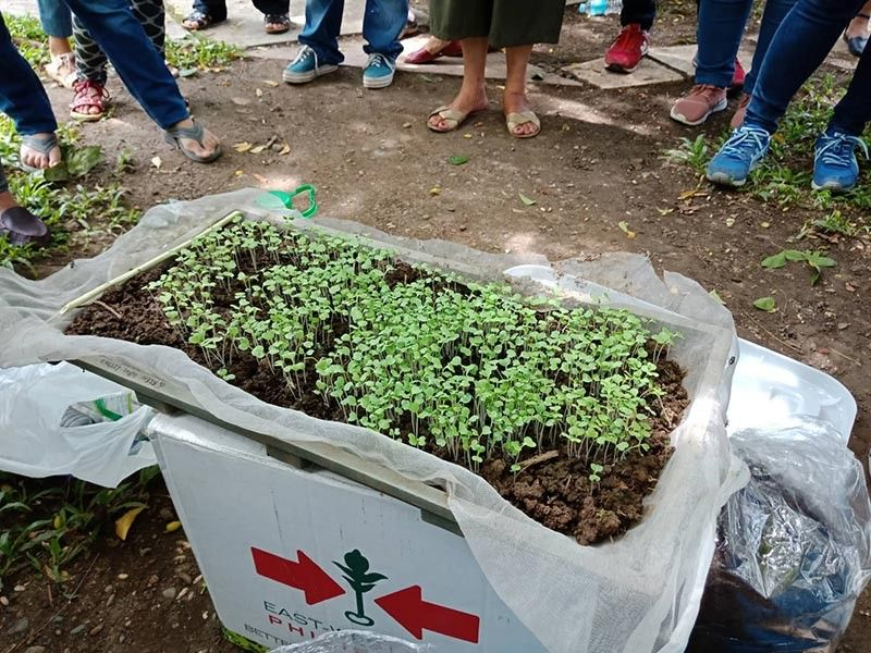 Sample cabbage seedlings that are ready for transfer to small containers. (Lyka Casamayor)