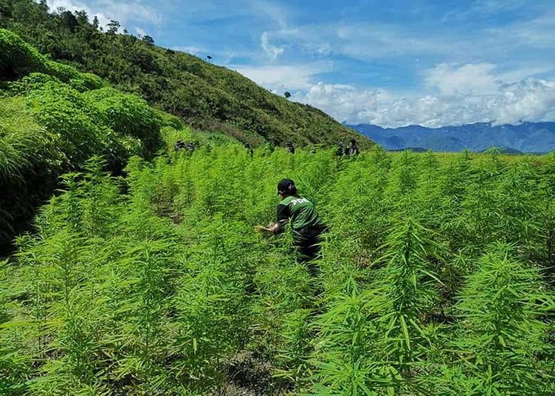 BENGUET. Anti-narcotics agent uproot 251,500 pieces of fully grown marijuana plants during a three-day operation on July 23 to 25 in Barangay Loccong, Tinglayan Kalinga grown on 18 plantation sites worth P50.3 million. (PDEA–CAR photo)