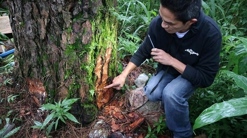 "BAGUIO. Public order and safety enforcer Deodariel Baniqued shows to Mayor Benjamin Magalong (not shown in photo) the sad state of one of the 45 pine trees on a private lot along Legarda Road which were allegedly ""intentionally bored"" on its trunk with suspected chemicals on June 24. Magalong said ""it is basically murder"" to kill the trees. The city executive vowed to personally file a case in court against the person/s involved. (Photo by Bong Cayabyab)"