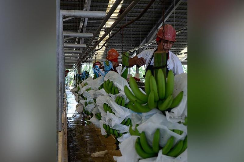 Banana packing houses in Sto. Tomas close down because of Fusarium Wilt in bananas. SUNSTAR FILE PHOTO