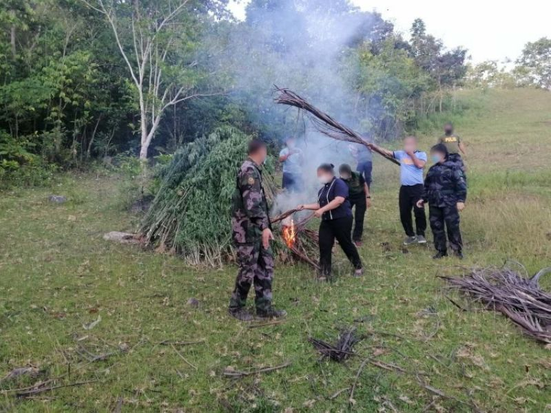 CEBU. Mokabat sa P14.3 Milyon nga balor sa punoan sa marijuana ang naibot sa manag lahing bukirang barangay sa Dakbayan sa Danao. (Hulagway iya sa Provincial Mobile Force)