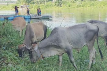 CONVERGENCE. Calves grazing at the riverside of Cagayan River, beside Cagayan de Oro's St. Augustine Cathedral, add to the already