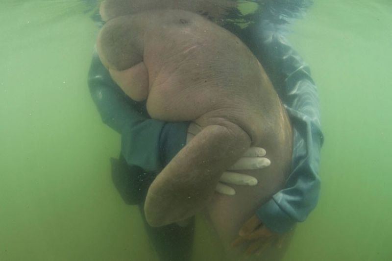 THAILAND. In this May 23, 2019, photo, an official of the Department of Marine and Coastal Resources, hugs Marium, baby dugong lost from her mom Libong island, Trang province southern Thailand. The 8-month-old dugong nurtured by marine experts after it was found near a beach in southern Thailand has died of what biologists believe was a combination of shock and ingesting plastic waste. The female dugong - a large ocean mammal - became a hit in Thailand after images of biologists embracing and feeding her with milk and sea grass spread across social media. Last week, she was found bruised after being chased and supposedly attacked by a male dugong during the mating season. (AP)