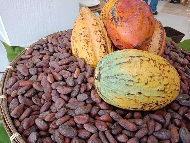 DAVAO. Cacao Industry Development Association of Mindanao president Val Turtur admitted that Davao City still struggles in producing fine cacao beans. (Lyka Casamayor)