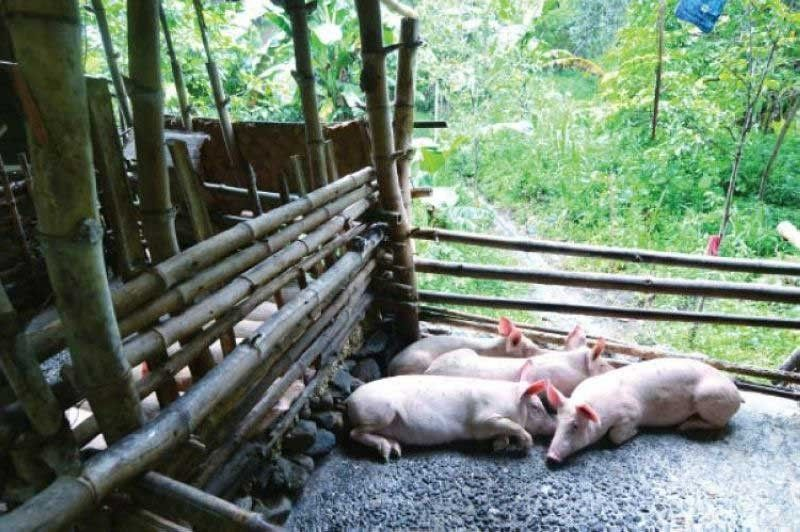 """STRINGENT MEASURES: The Deparment of Agriculture (DA) calls on hog raisers to strictly observe and practice good livestock practices by not feeding hogs food scraps from canned meat.The DA says it received an incident report from the Bureau of Animal Industry about an """"increased mortality of pigs raised by farmers in their backyards."""" (SunStar File Photo)"""
