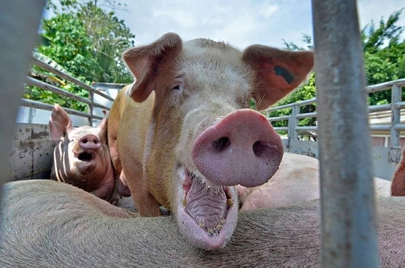 DAVAO. Despite the government's temporary ban on the importation of domestic and wild pigs to the Philippines following the outbreak of African Swine Flu (ASF), farm gate price of pork remain low at P105 per kilogram (kg). (SunStar File Photo)