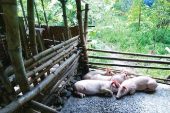 "STRINGENT MEASURES: The Deparment of Agriculture (DA) calls on hog raisers to strictly observe and practice good livestock practices by not feeding hogs food scraps from canned meat.The DA says it received an incident report from the Bureau of Animal Industry about an ""increased mortality of pigs raised by farmers in their backyards."" (SunStar File Photo)  onerror="