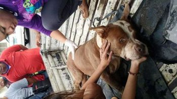 CEBU. Hachitso, a six-year-old Pitbull, was badly beaten by his owner's neighbor in Cebu. (Photo by City of Talisay Veterinary Office)