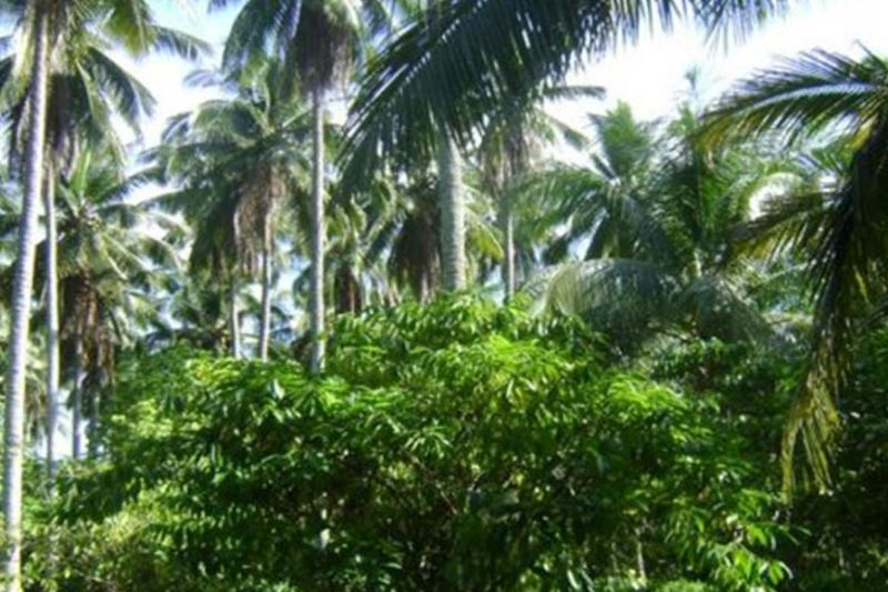 Coconuts planted with coffee (Contributed photo)