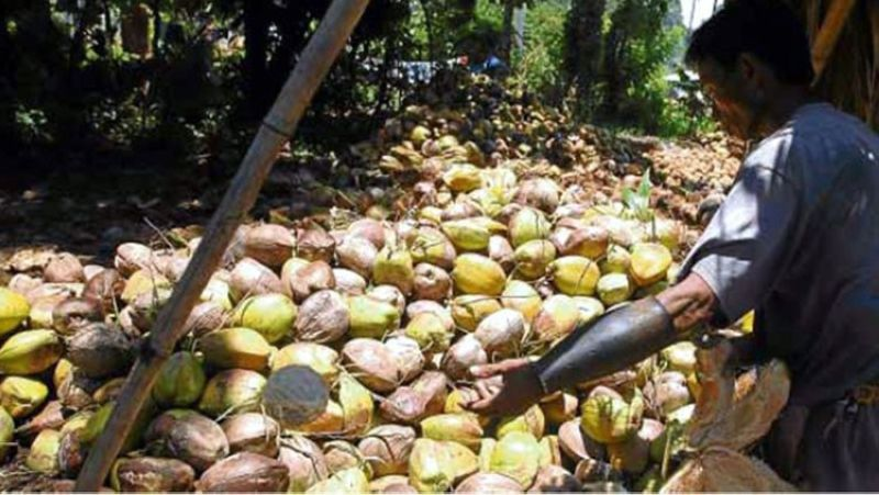 DAVAO. Philippine Coconut Authority said exportation of coconuts may temporarily help farmers increase their income as the industry continues to struggle with the decline of copra price. (SunStar File)