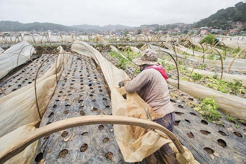 BENGUET. A farmer at the La Trinidad strawberry farm puts in place protection for his plants as rains continue to hamper the region. (Photo by Jean Nicole Cortes)