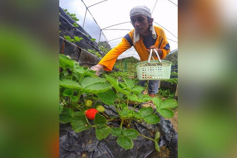 FLOURISHING LIVELIHOOD. Aside from strawberry picking, a farm in Dalaguete also sells carrots, herbs, lettuce and other vegetables. (SunStar File Photo).
