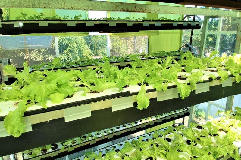 MANILA. Vertical farming allows four times as many crops produced through traditional farming methods due to its controlled environment and protection against weather-related problems. (Contributed photo)
