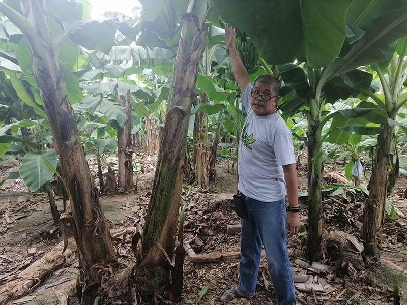 DAVAO. Si Roni Manching, usa ka farmer scientist ug nag-adbokar sa organic mipakita sa 'treated banana plant' nga gibutangan og KWR Permaculture foliar ug biocon agent. (Gipaambit nga hulagway)
