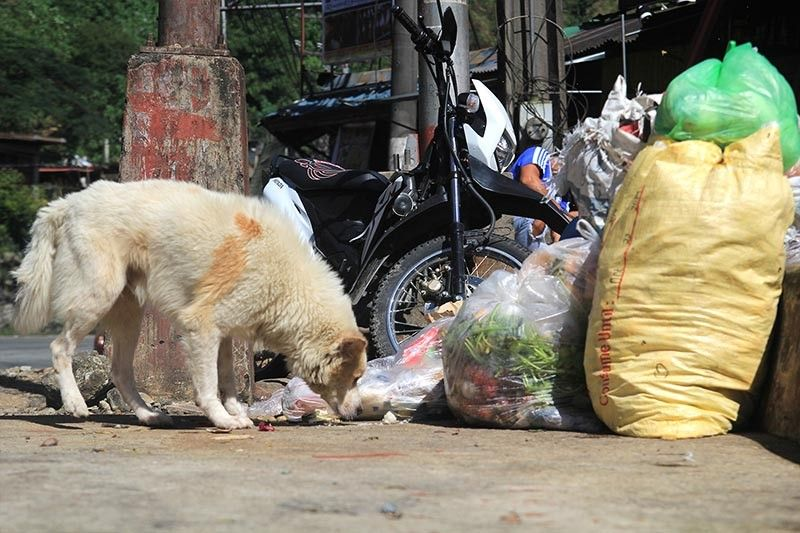 BAGUIO. Hungry and abandoned, a stray dog searches for food in trash along the road. Baguio City is eyeing to require implanting of microchips to dogs. The plan will help decrease the city's stray dog population and lessen problems they cause such as dog bites, scattering of garbage and poop along pathways. (Jean Nicole Cortes)