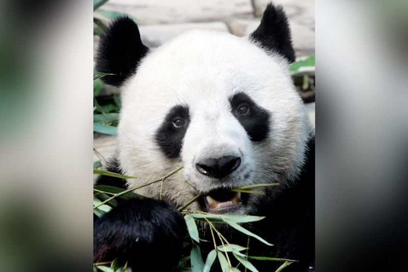 THAILAND. In this April 4, 2007. file photo, a male panda named Chuang Chuang chews bamboo leaves inside its cage at the Chiang Mai zoo in Chiang Mai province, northern Thailand. Officials said Chuang Chuang collapsed Monday, September 16, 2019, in his enclosure at the Chiang Mai Zoo shortly after standing up following a meal of bamboo leaves. (AP)