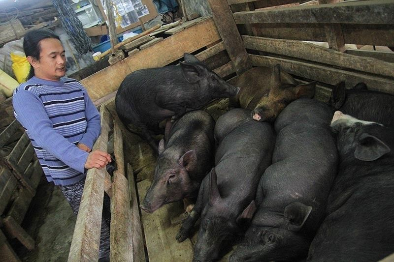 BAGUIO. Manong Jap, a butcher at the Baguio City slaughterhouse, awaits customers to purchase native pigs. Benguet Governor Melchor Diclas ordered a temporary ban on the entry of live pigs and all pork products from provinces and cities affected by the African Swine Fever. (Jean Nicole Cortes)