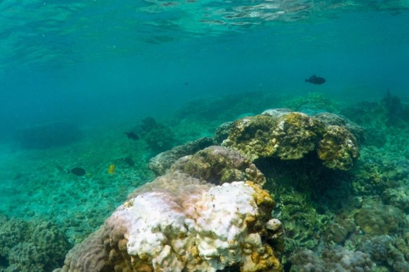 HAWAII. This September 12, 2019 photo shows bleaching coral in Kahala'u Bay in Kailua-Kona, Hawaii. Just four years after a major marine heat wave killed nearly half of this coastline's coral, federal researchers are predicting another round of hot water will cause some of the worst coral bleaching the region has ever seen. (AP)
