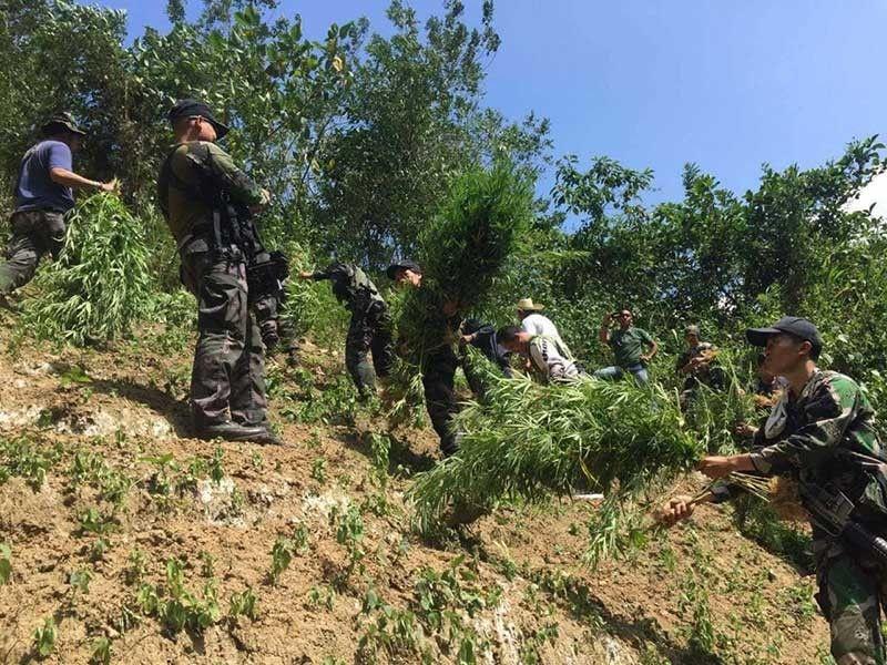 MINILYON: Mobalor og P7.9 milyunes ang mga punoan sa marijuana nga naibot gikan sa plantasyon nga nahimutang sa utlanan sa duha ka mga bukirang barangay sa Dakbayan sa Sugbo. (Tampo nga hulagway)