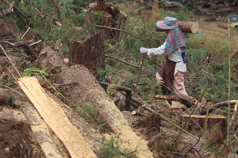 BAGUIO CITY. In this file photo taken in February 2019, workers carry logs after the trees were cut along Legarda Road in Baguio City. (Photo by Jean Nicole Cortes)