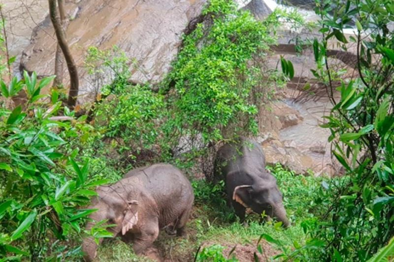 THAILAND. In this October 5, 2019, photo released by the Department of National Parks, two elephants are seen stuck on the edge of the Haew Narok Waterfall in Khao Yai National Park, Nakhon Nayok, central Thailand. A herd of wild elephants was swept away by raging waters in Thailand's national park, drowning six, while rangers helped steer two animals out of a deep ravine. (AP)