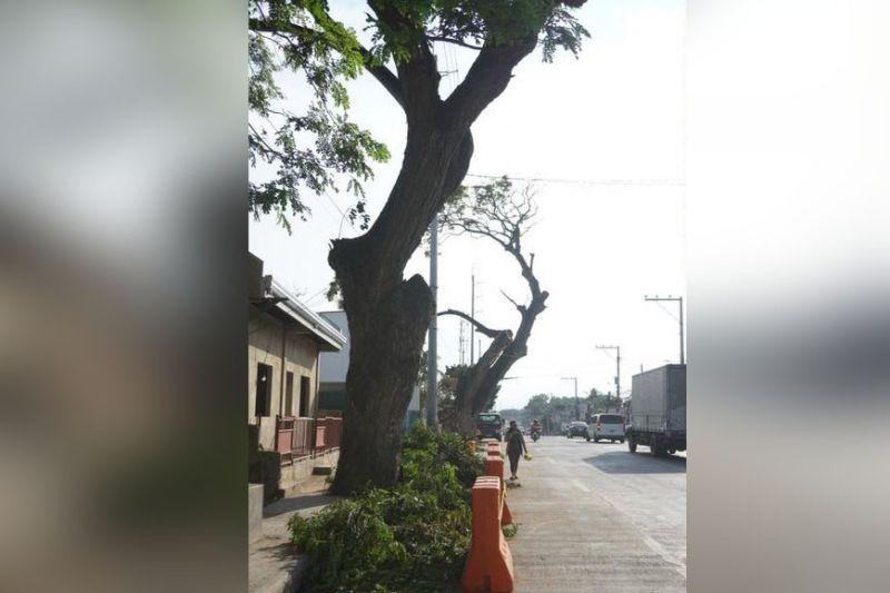 Naga tree (File photo)